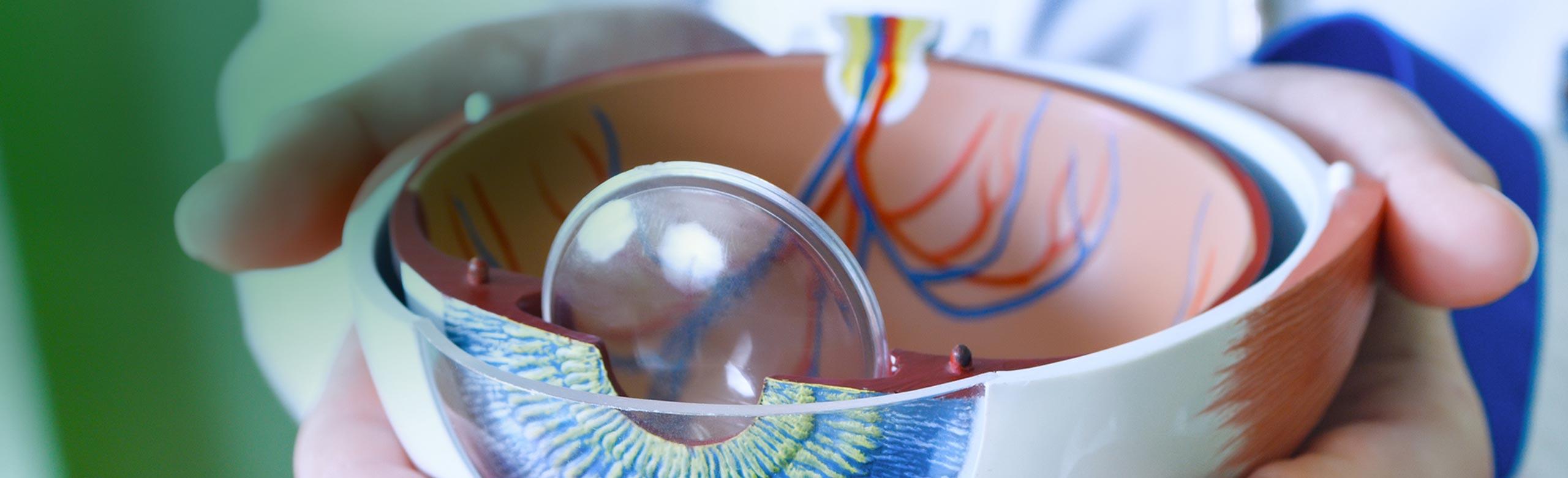 Immagine di mani che tengono un occhio di plastica anatomico