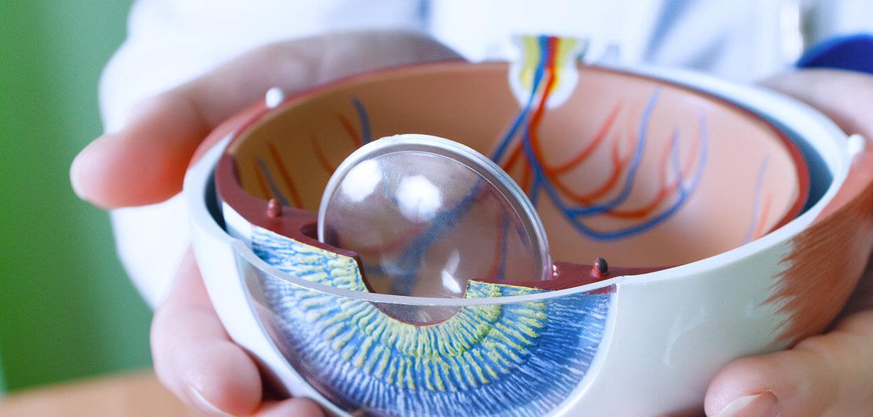 Un modello di occhio che mostra le differenti parti dell'occhio